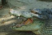 Head of crocodile — Stock Photo