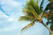 Palmboom op hemelachtergrond — Stockfoto