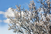 Spring tree over sky — Stock Photo