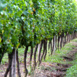 Vineyard and grapes in south of France — Stock Photo #16570957