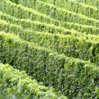 Vineyard and grapes in the south of France - Stock Photo