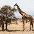 Giraffe in the Serengeti — Stock Photo