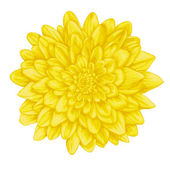 Beautiful yellow dahlia with the effect of a watercolor drawing isolated on white background. — Stock Vector