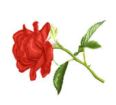 Beautiful red rose with long stem and leaves  isolated on white background. — Stock Vector
