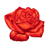 Beautiful red rose isolated on white background. — Stock Vector