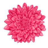 Beautiful pink dahlia isolated on white background. — Stock Vector
