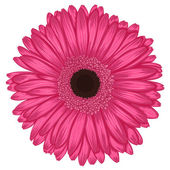 Beautiful pink gerbera isolated on white background . — Stock Vector