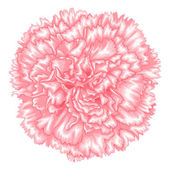 Beautiful pink carnation isolated on white background. — Stock Vector