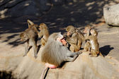 Baboon monkeys cleaning each other — Stock Photo
