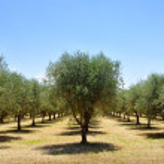 Olive trees, Tuscany, Italy, Europe — Stock Photo #51544713