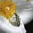 Beetle and flower — Stock Photo #12212341