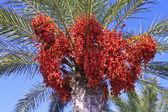 Phoenix dactylifera — Stock Photo