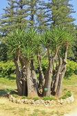 Yucca gloriosa — Stock Photo