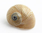 Lined moon snail — Stock Photo