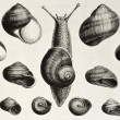 Stock Photo: Edible snails