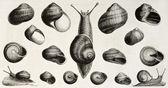 Edible snails — Stock Photo