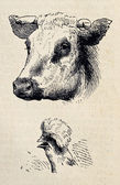 Cow and rooster — Stock Photo