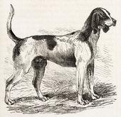 Saintonge dog — Stock Photo