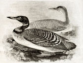 Great Northern Loon — Stock Photo