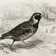 Stock Photo: Lapland Longspur