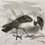 Pied Crow — Stock Photo #13324603