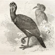 Abyssinian Ground Hornbill - Stok fotoraf