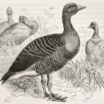 Greylag Goose — Stock Photo #13326111