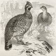 Hazel Grouse — Stock Photo