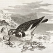 Ruddy Turnstone — Stock Photo