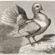 Shaker Pigeon — Stock Photo