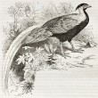 Silver Pheasant - Stock Photo