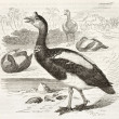 Spur-winged Goose — Stock Photo