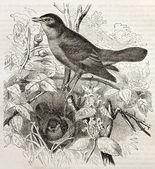 Nightingale — Stock Photo