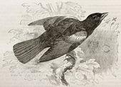 Red-winged Blackbird — Stock Photo