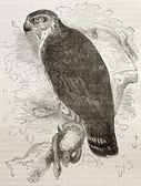 Short-toed Snake Eagle — Stock Photo