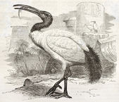 African Sacred Ibis — Stock Photo