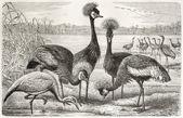 Black Crowned Crane and Demoiselle Crane — Stock Photo