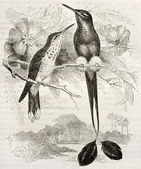 Booted Racket-tail — Stock Photo