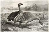 Cape Barren Goose — Stock Photo