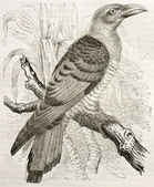 Channel-billed Cuckoo — Stock Photo