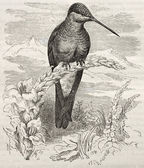 Giant Hummingbird — Stock Photo