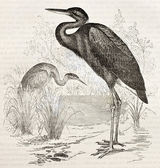 Goliath Heron — Stock Photo