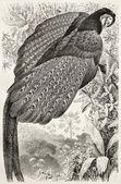 Great Argus Pheasant — Stock Photo