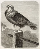 Jacobin Pigeon — Stock Photo