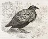 Nicobar Pigeon — Stock Photo