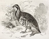 Red-legged Partridge — Stock Photo