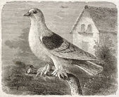 Rough-footed Pigeon — Stock Photo