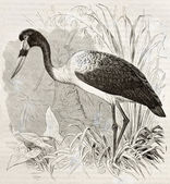 Saddle-billed Stork — Stock Photo