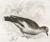 West Peruvian Dove — Stock Photo