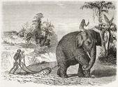 Elephant ploughing — Stock Photo
